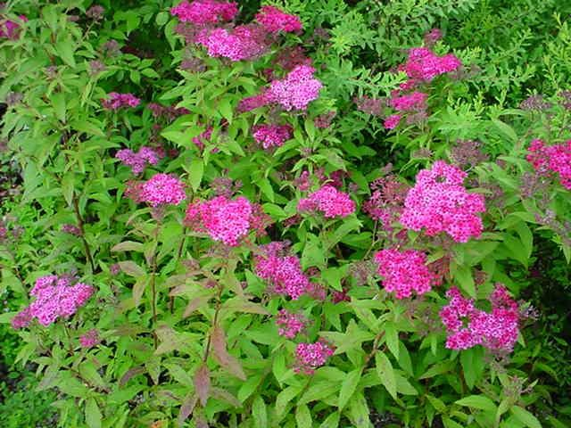 Spiraea japonica 'Anthony Waterer'_1.jpg