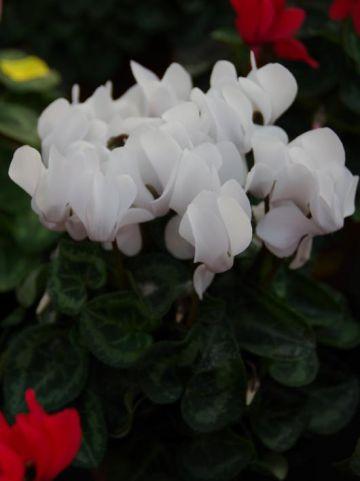 Cyclamen persicum  - Tuincyclaam