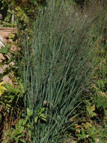 Panicum virgatum 'Northwind' - Vingergras