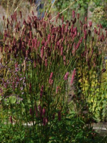Sanguisorba  'Blackthorn' - Pimpernel
