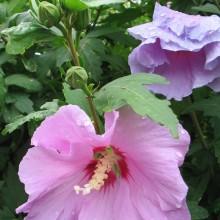 Hibiscus syriacus 'Coelestis' - Altheastruik