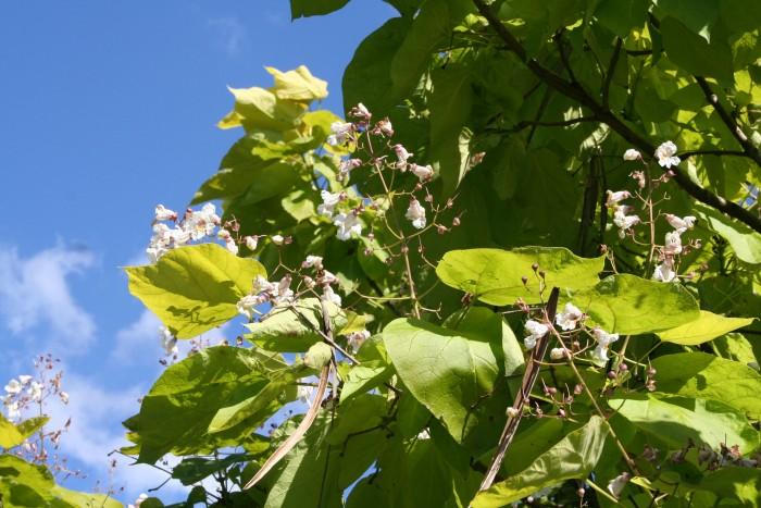 Catalpa bignonioides Aurea (Geelbladige Trompetboom)