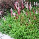 Persicaria affinis 'Darjeeling Red' - Duizendknoop