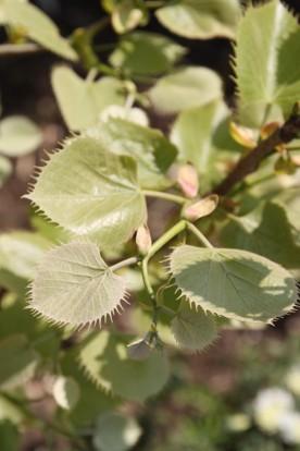 Tilia henryana - Gewimperde linde, Chinese linde