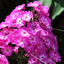 Phlox paniculata 'Tatjana' -  Floks, vlambloem