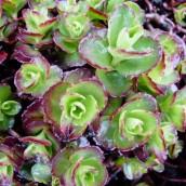 Sedum spurium 'Schorbuser Blut' - p9