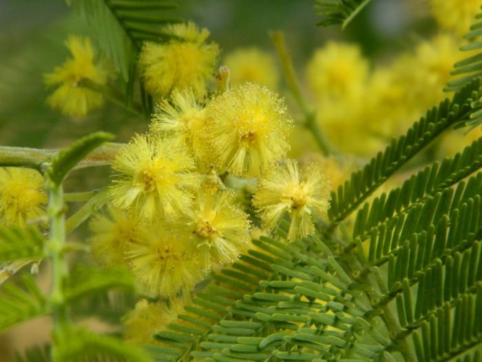 Acacia Dealbata  Mimosa DSCN0963.JPG