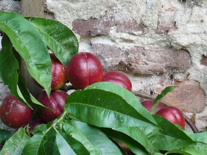 Prunus persica nucipersica 'Madame Blanchet' (Nectarine) 1.JPG