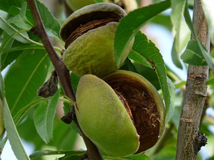 Prunus dulcis 'Robijn' (Amandel) 1.JPG