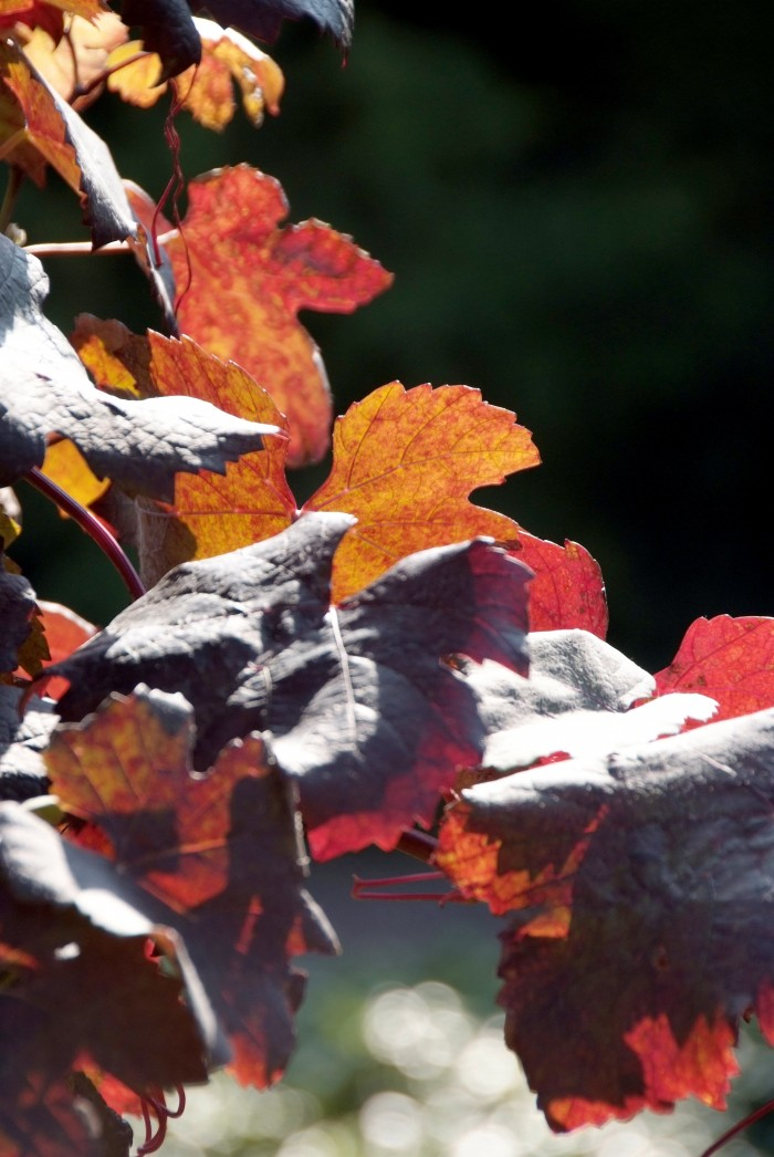 Vitis vinifera 'Purpurea' (Wijnstok, Blauwe druif)