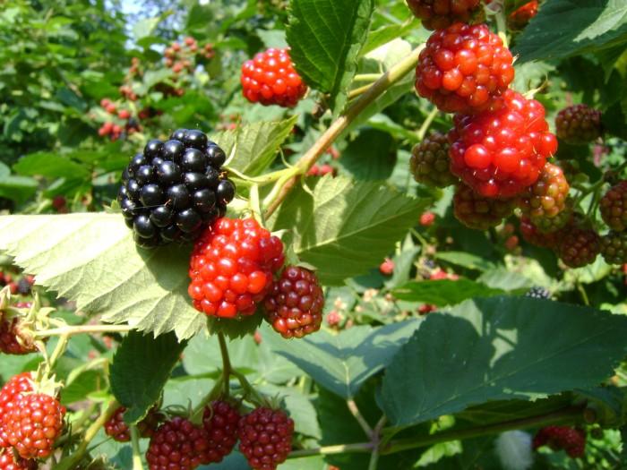 Rubus 'Chester Thornless' (Doornloze Braam).JPG
