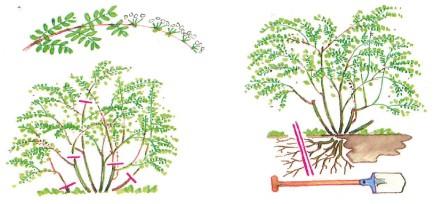 Wortelsnoei Spiraea arguta