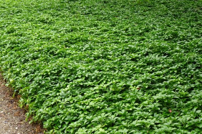 Pachysandra terminalis Green Carpet P1230990.JPG