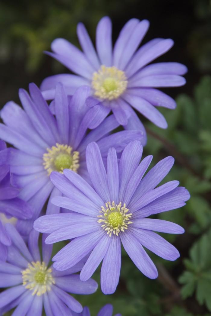 Anemone blanda 'Blue Shades' (2).jpg
