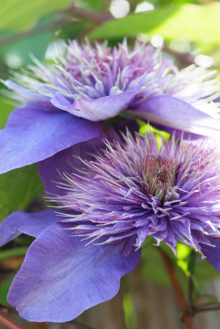 Clematis 'Multi Blue' (3).jpg