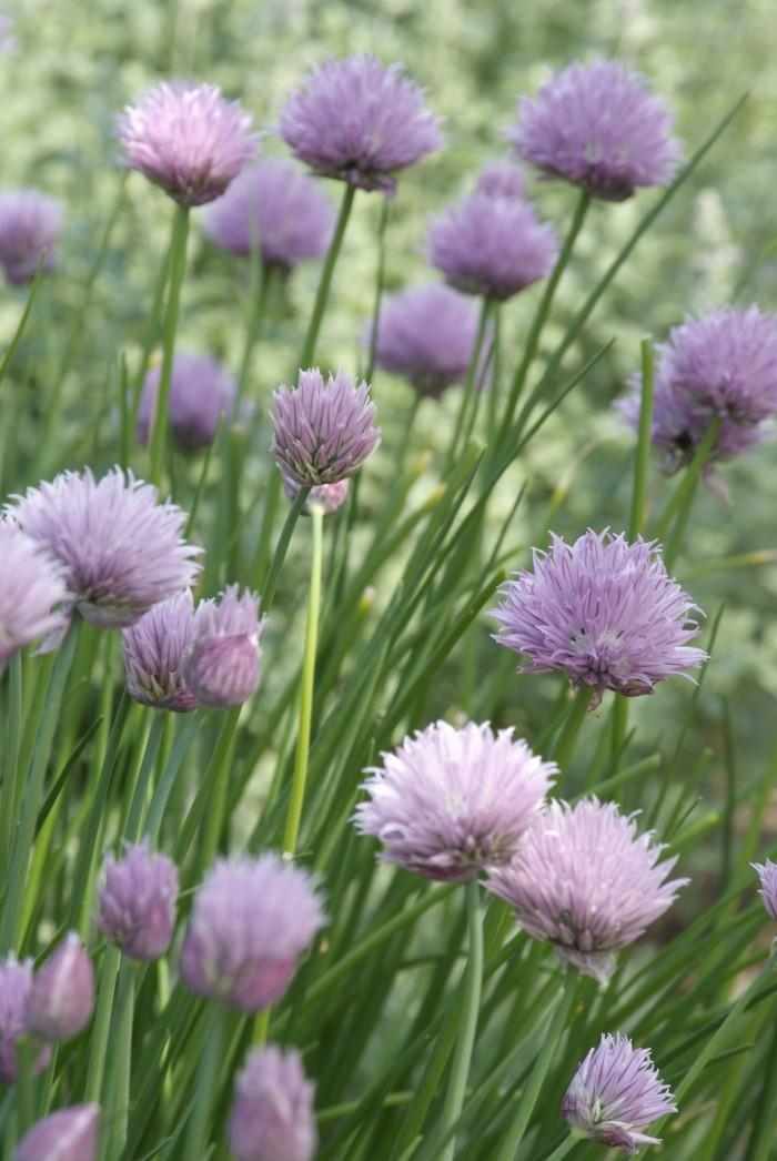 Allium Schoenoprasum (3).jpg