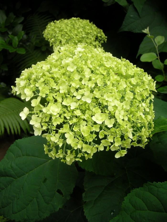 Hydrangea arborescens (Sneeuwbal, Tuinhortensia)