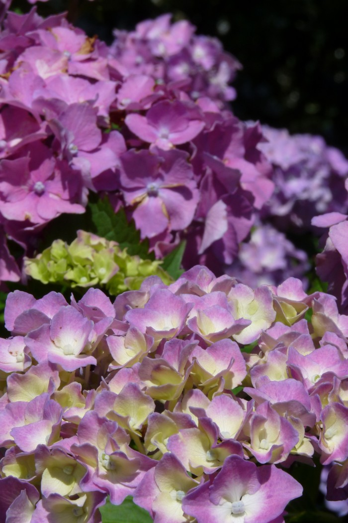 Hydrangea macrophylla Altona  P1190925.JPG