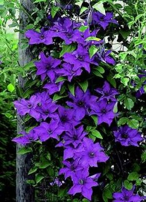 Clematis President