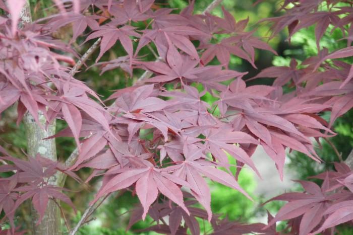 Acer palmatum Atropurpureum 1140233.JPG