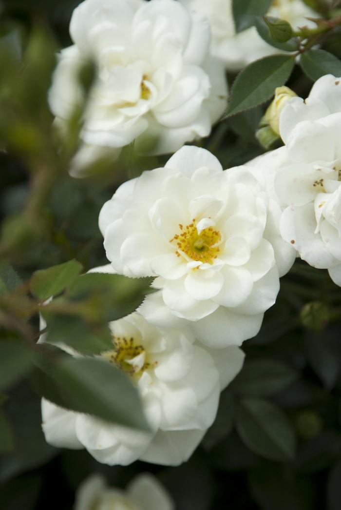 Rosa 'Kent' (4).jpg