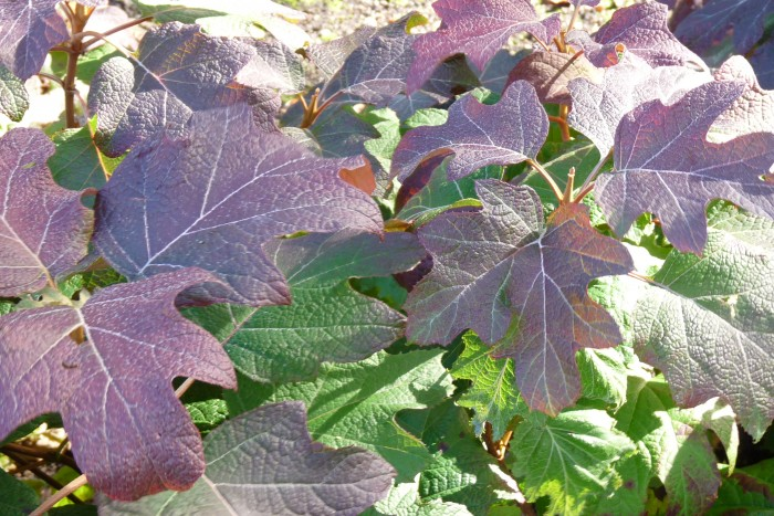 Hydrangea quercifolia Burgundy P1260050.JPG
