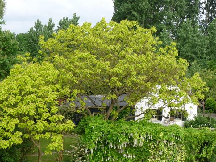 Catalpa bignonioides Aurea (Geelbladige Trompetboom) 2.JPG