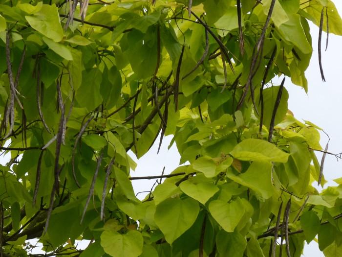 Catalpa bignonioides Aurea (Geelbladige Trompetboom) 3.JPG