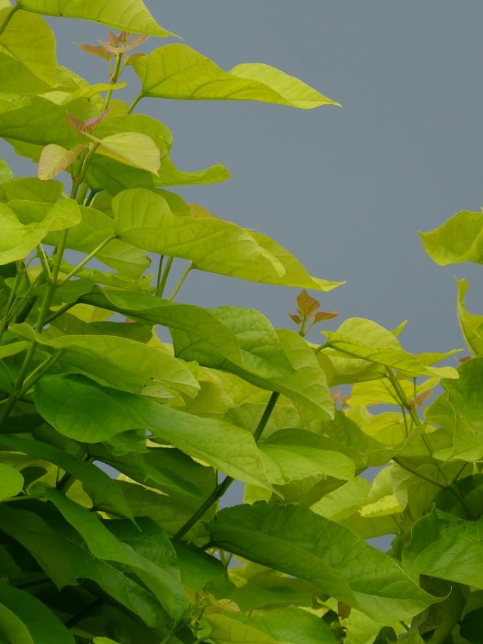 Catalpa bignonioides Aurea (Geelbladige Trompetboom) 1.JPG