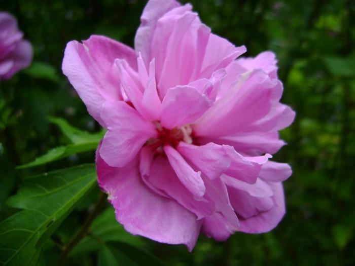 Hibiscus syriacus Ardens DSC03201.JPG