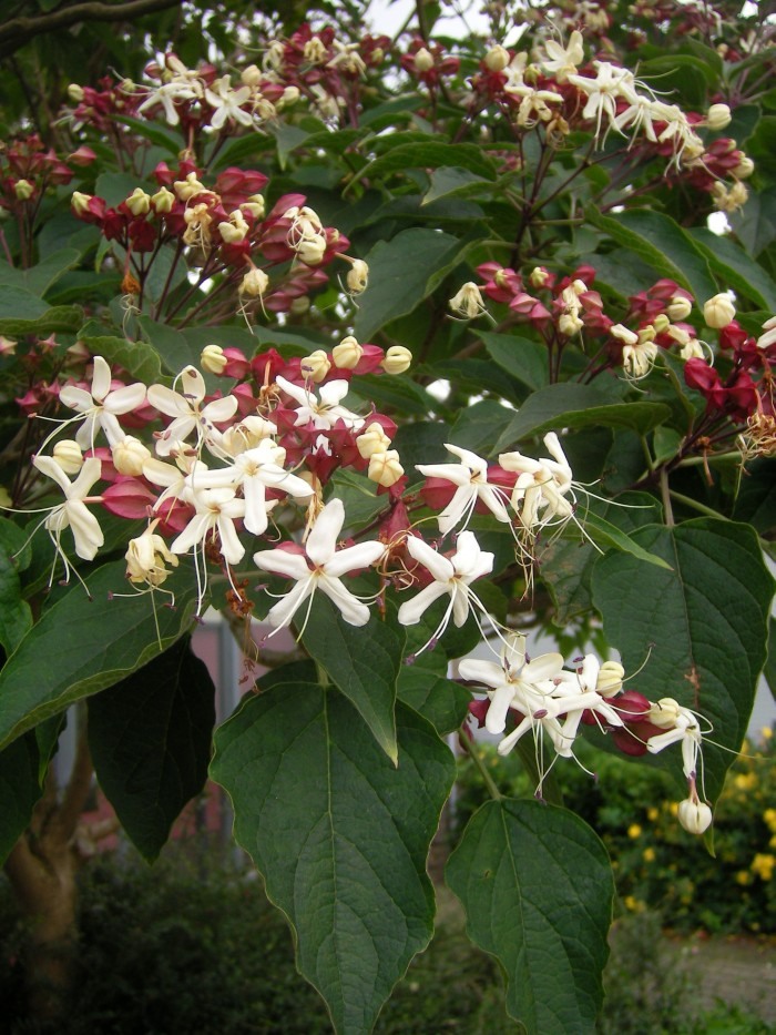 Clerodendron trichotomum  39.jpg