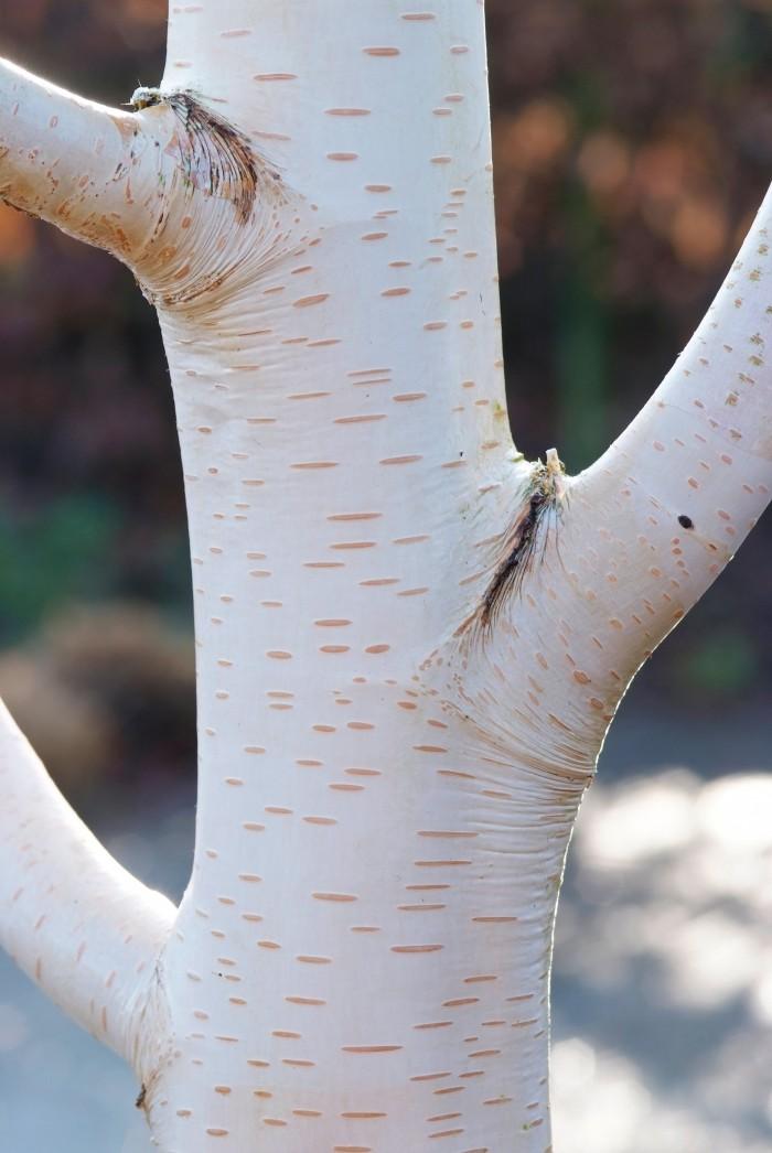 Betula utilis subsp. jacquemontii (Witte Himalayaberk) 2.jpg