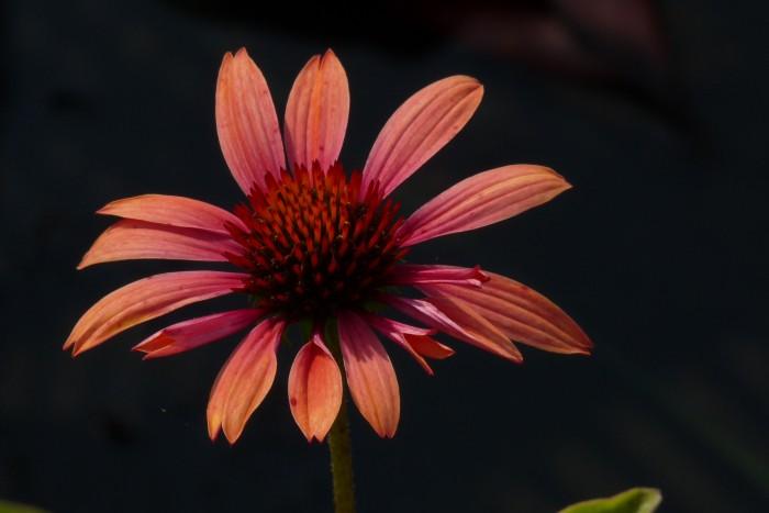 Echinacea purpurea Sundown P1200662.JPG