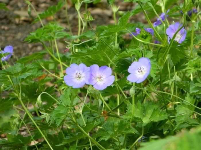 Geranium wallichianum Buxton's Variety DSCN2580.JPG
