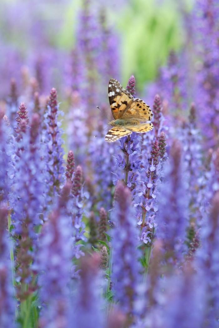 Vaste planten borderpakket voor bijen - 3 m2 (Blauw)