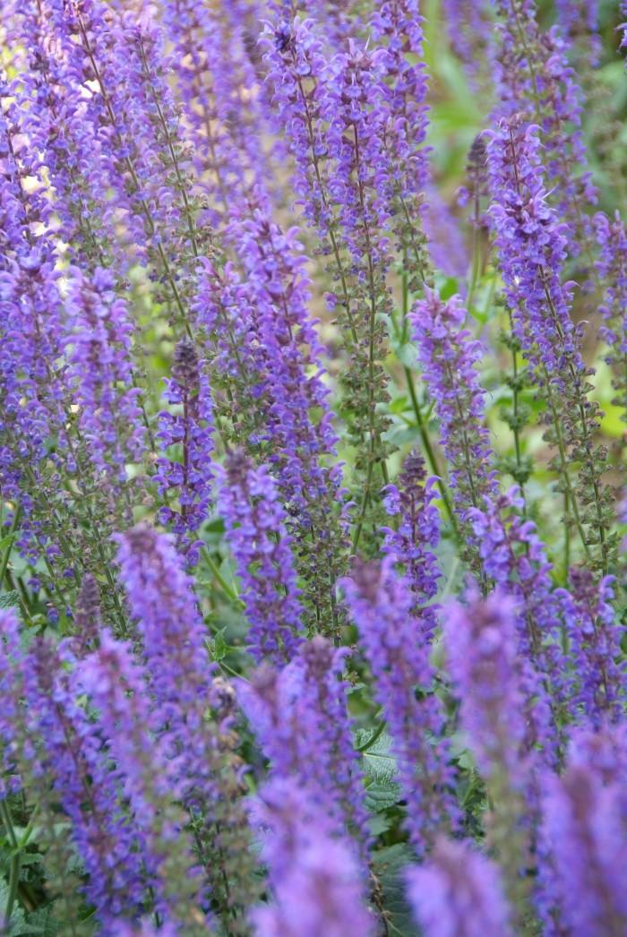 Salvia nemorosa 'Mainacht'.jpg