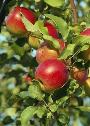 Snoeien appelboom