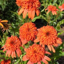 Echinacea 'Secret Lust' - Zonnehoed