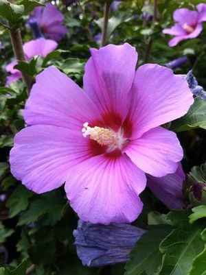 Hibiscus Syriacus Roze