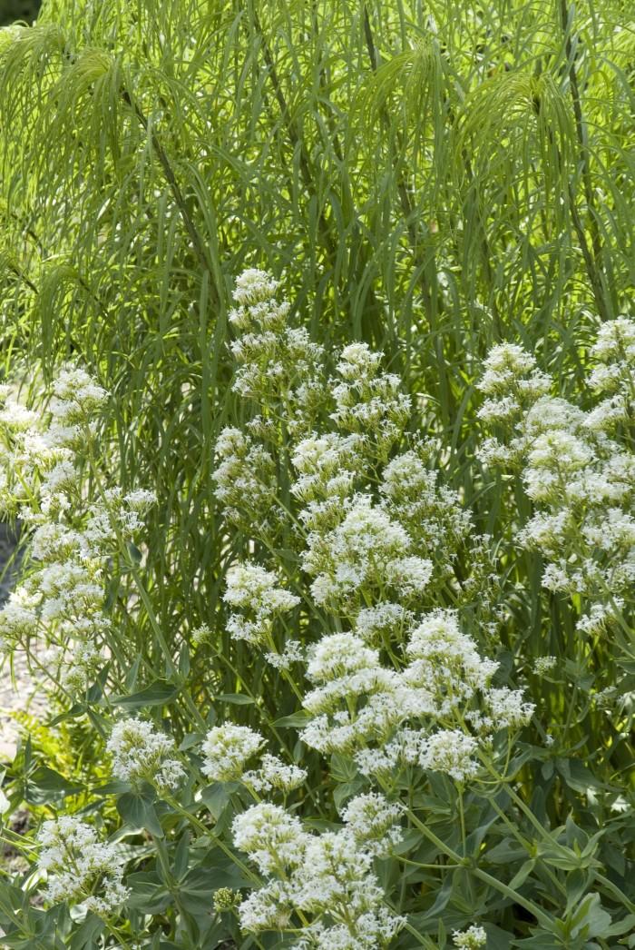 Centranthus ruber 'Albus' Helianthus salicifolius.jpg