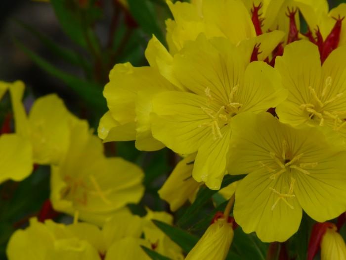Oenothera fruticosa 'Fyrverkeri' (Teunisbloem) 4.JPG
