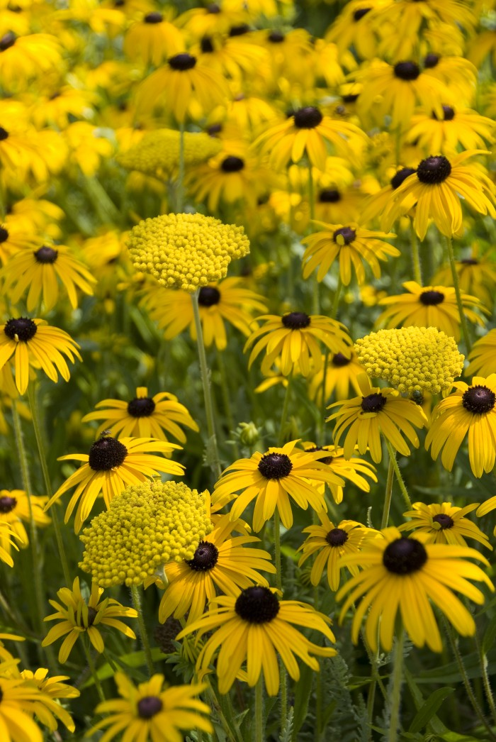 Rudbeckia fulgida 'Goldsturm' Achillea filipendulina 'Parker's Variety'.jpg