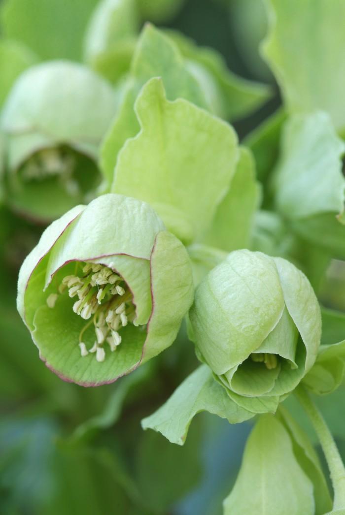 Helleborus foetidus (2).jpg
