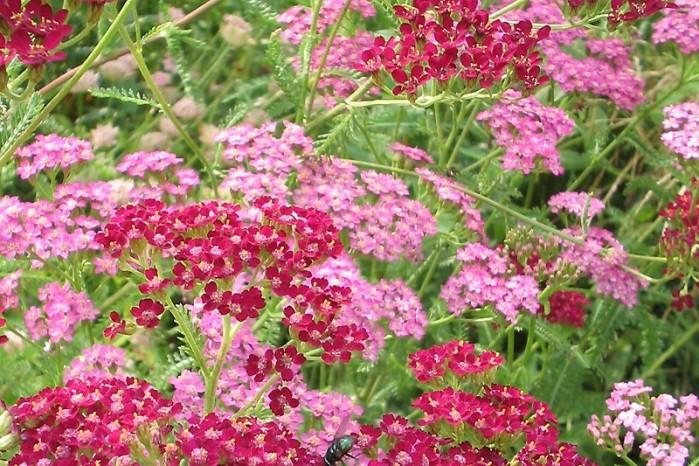 Achillea millefolium Summerwine (Duizendblad)2.jpg