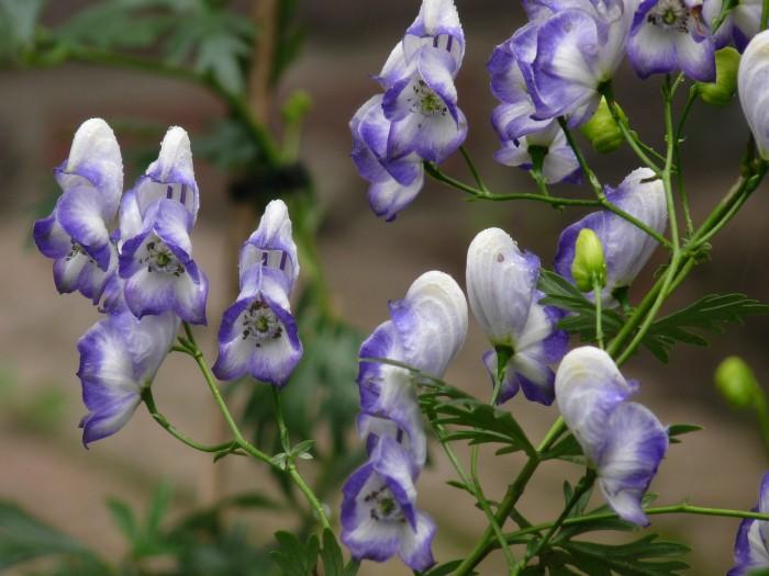 Aconitum 'Bicolor' P1220077.JPG