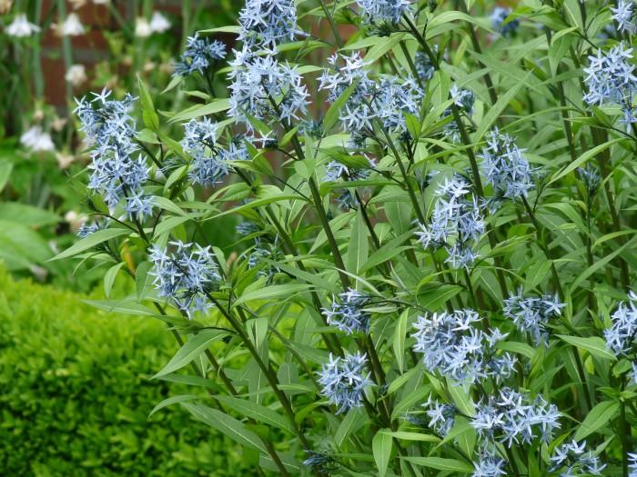 Amsonia hubrichtii (Stermaagdenpalm, Blauwe ster)