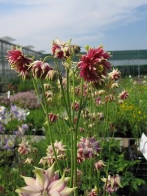 Aquilegia vulgaris 39 nora barlow 39 akelei de tuinen van for Grensafscheiding tuin