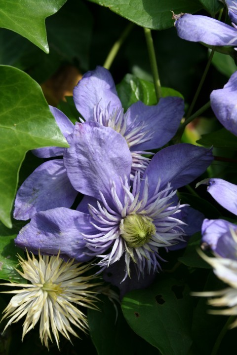 Clematis 'Blue Light' (Bosdruif, bosrank) 1.jpg