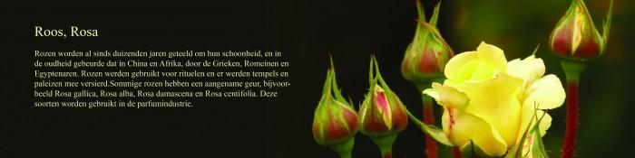 Roos, Rosa.jpg