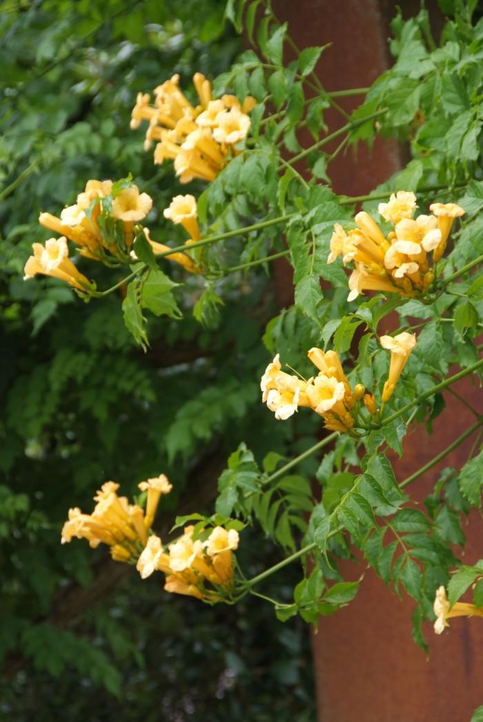 Campsis radicans Flava (gele trompetklimmer, gelber Trompetenblume, Yellow Trumpet Vine)